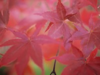 Japanese Maple - Becky Hemperly