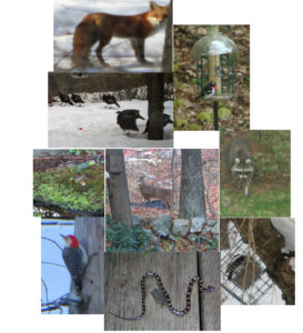 Wildlife photographed from 9 Polk Road.  These animals, and other including coyote, fisher cat, woodchuck, skunk, bat, hawk and hummingbird inhabit the area of the proposed Forest Ridge Residences. (courtesy of Dorothy Feldman, Winchester resident in opposition of proposed 40-B project)