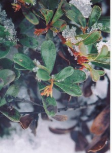 Bearberry buds