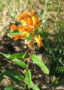 Butterfly-weed - Asclepias tuberosa