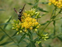 Photo of wasp on goldenrod flowers