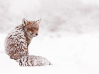 https://www.boredpanda.com/winter-fox-photography-roeselien-raimond/