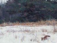 fox in meadow
